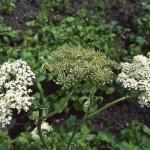 نبتة اليانسون