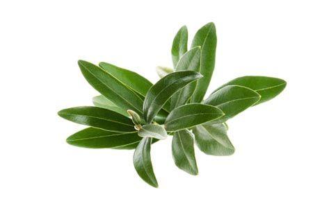 فوائد الزيتون Olive-leaf