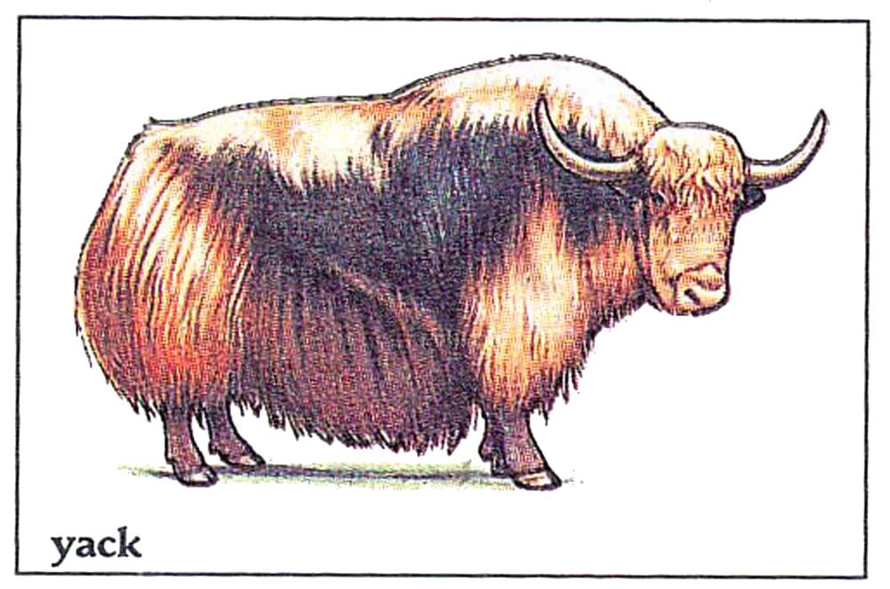 غزال التيبت الذهبي! – مشعل العلوش