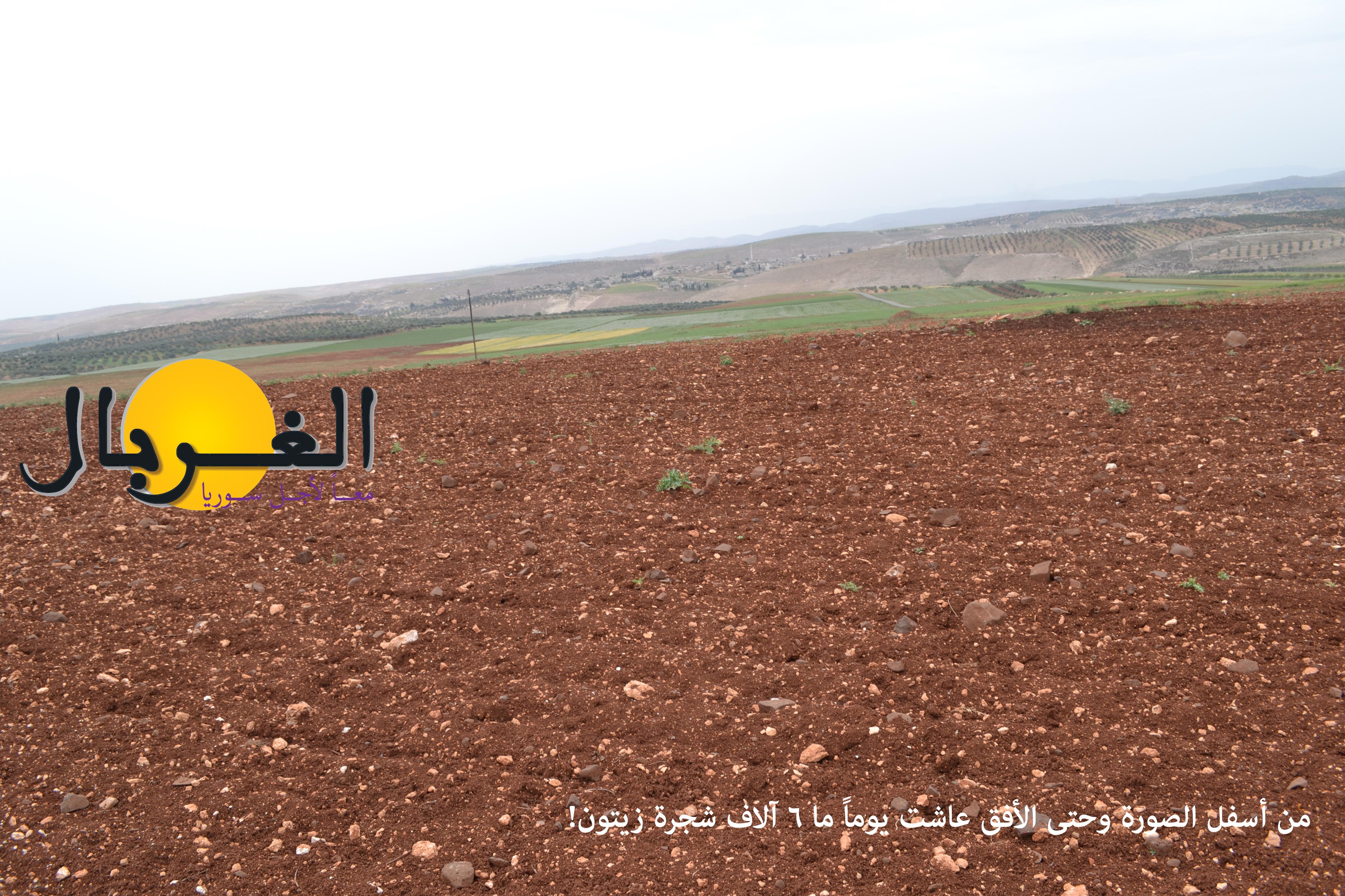 إعدام ستة آلاف شجرة زيتون مؤيدة – فريق الغربال