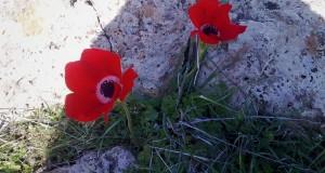 شقائق النعمان في جبل العرب