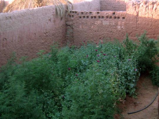 تتم زراعة نبات القنب الهندي في أماكن مخفية غالبا الانترنت