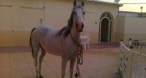 ازدهار تربية الخيول الأصيلة في الشمال السوري – محمد الأسمر